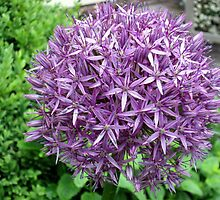 A lovely allium  in my garden by margaret hanks