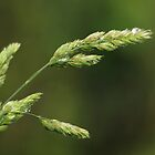 Wild Grass by Tracy Friesen