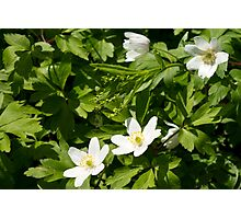 White wood anemones Photographic Print