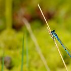 Azure Damselfly by relayer51