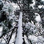 Snowy Pine Tree. by Lindsay Osborne