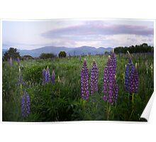 White Mountains - Lupine Season Poster