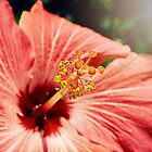 Hibiscus by Scott Mitchell