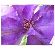 Purple Clematis Macro Untouched Poster