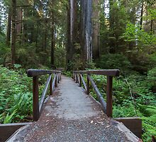 Exploring Jedediah Smith Redwoods II by Richard Thelen