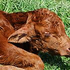 Newborn Calf by Jan  Tribe