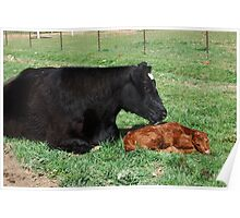 First Bath ~  Holly and her newly born calf Poster