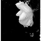 White Rose with rain drops by jrier