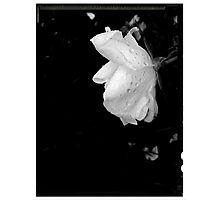 White Rose with rain drops Photographic Print
