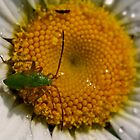 Plant Bug nymph on Daisy by Kane Slater