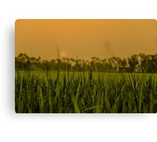 Sunset over the rice paddy Canvas Print