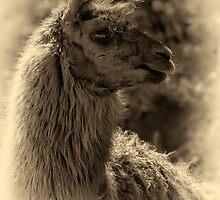 Guanaco - antique photo style by photograham