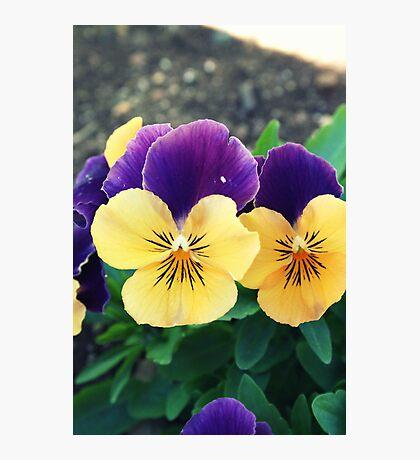 Orange and Violet Violas Photographic Print