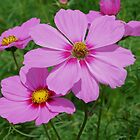 Delicate Pink Cosmos Flowers by SmilinEyes