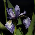 Intense Blue Flag Iris Flower by SmilinEyes