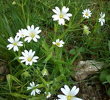 White Wildflowers - Stitchwort by Louise Parton