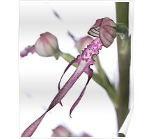 Adriatic Lizard Orchid Poster