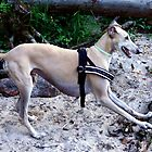 Fiona the Galgo by homesick