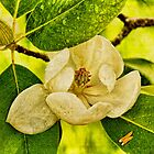 Sweet Bay Magnolia After The Rain by Lois  Bryan