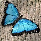 Blue Morpho on Granite by Linda Long