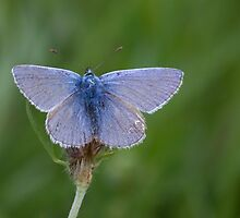 Common Blue by Gill Langridge