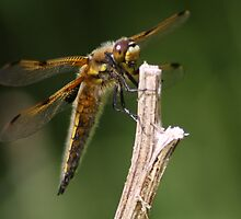4 Spotted chaser by mrwall