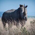 White Rhino (2) by Cara Barron