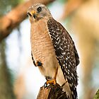 Red Shouldered Hawk Formally Posed by Joe Jennelle