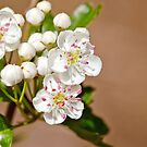 Hawthorn Blossom by M.S. Photography & Art