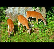 Odocoileus Virginianus - North American White - Tailed Deers - Middle Island, New York by © Sophie W. Smith