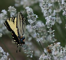 Yellow Monarch on White Lavender by Kirstyshots