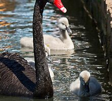Swan and Cygnets - Lake Burley Griffin by David Hicks