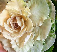 Cabbage Flower by Pauline Tims