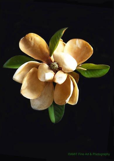 Magnolia Twilight by heatherfriedman