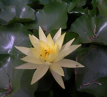 Yellow Hardy Water Lily by swiftwolf