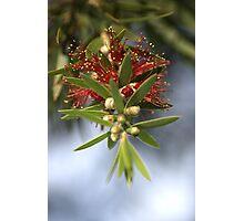 Bottlebrush of Nature Photographic Print