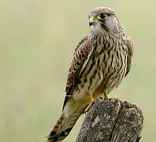 Kestrel by Richard Greenwood