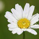 Daisy - JUSTART © by JUSTART