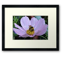 Bumble Bee and Cosmos Framed Print