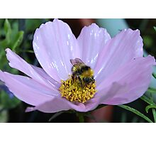 Bumble Bee and Cosmos Photographic Print