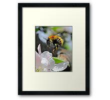 Pollinating Bumblebee Framed Print