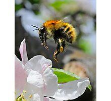 Pollinating Bumblebee Photographic Print