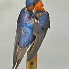 Swallow by Kathy Baccari