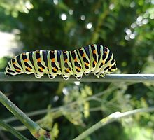 Swallowtail caterpillar ready to change to a chrysalid by Carol Dumousseau