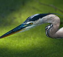 Great Blue Heron In Dappled Sunlight by Joe Jennelle