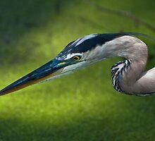 Great Blue Heron In Dappled Sunlight by Joe Jennelle