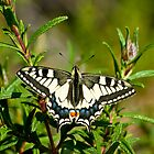 European swallowtail  by Steve Shand