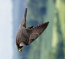 Peregrine Falcon by picsl8