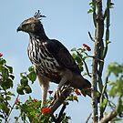 Crested hawk eagle by JenniferLouise