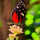 Postman Butterfly by vette